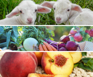 Photo showing lambs, field crops, and fruit trees