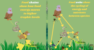 Image compares and contrasts food chains and food webs.