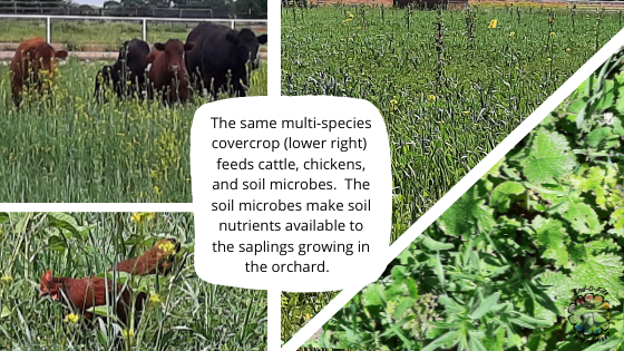 Image shows cattle and chickens foraging in a mixed species pasture. Orchard saplings grow in the same cover crop mix nearby. A closeup image of the cover crop is also shown.