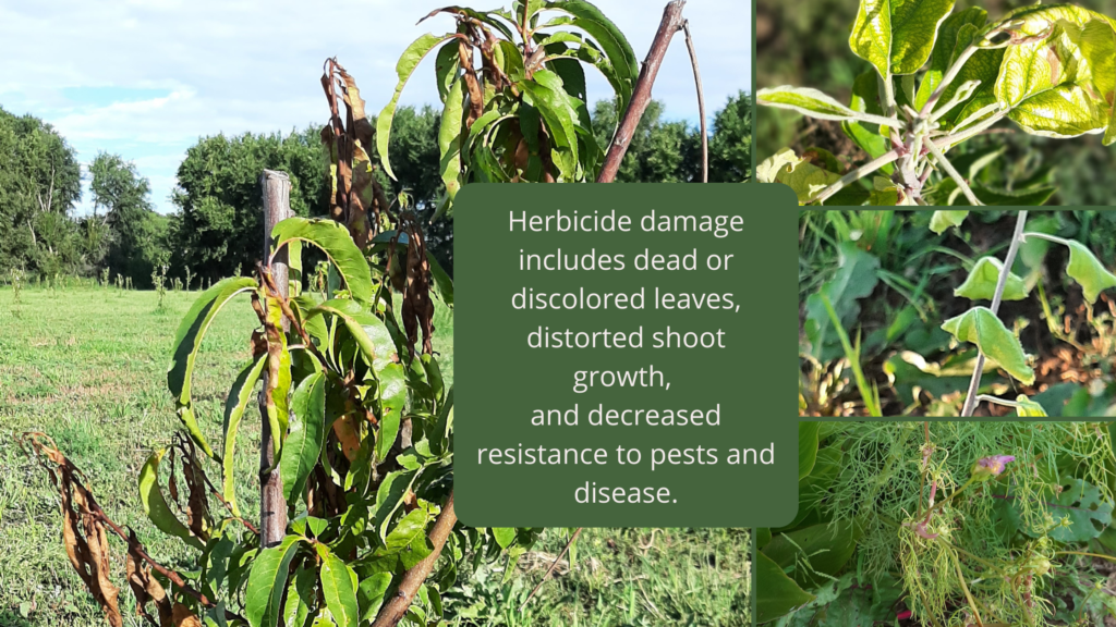 Shows what plants look like after being sprayed with herbicide